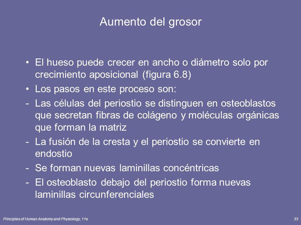 Aumento del grosor El hueso puede crecer en ancho o diámetro solo por crecimiento aposicional (figura 6.8)