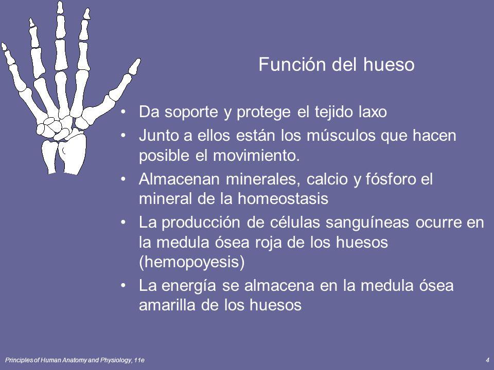 Función del hueso Da soporte y protege el tejido laxo