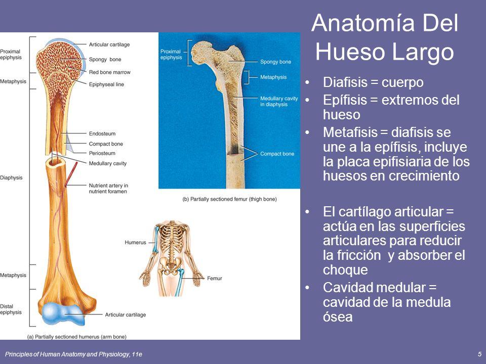 Anatomía Del Hueso Largo