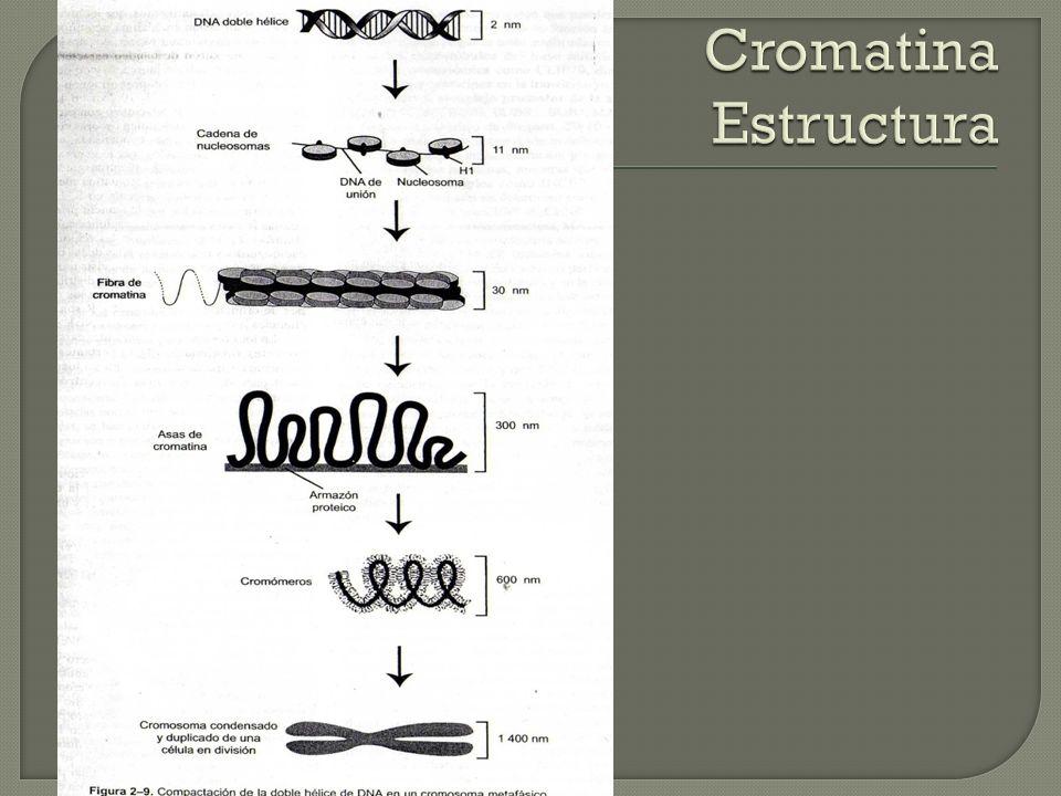 Cromatina Estructura