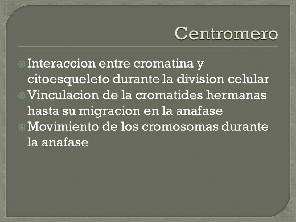 Centromero Interaccion entre cromatina y citoesqueleto durante la division celular.