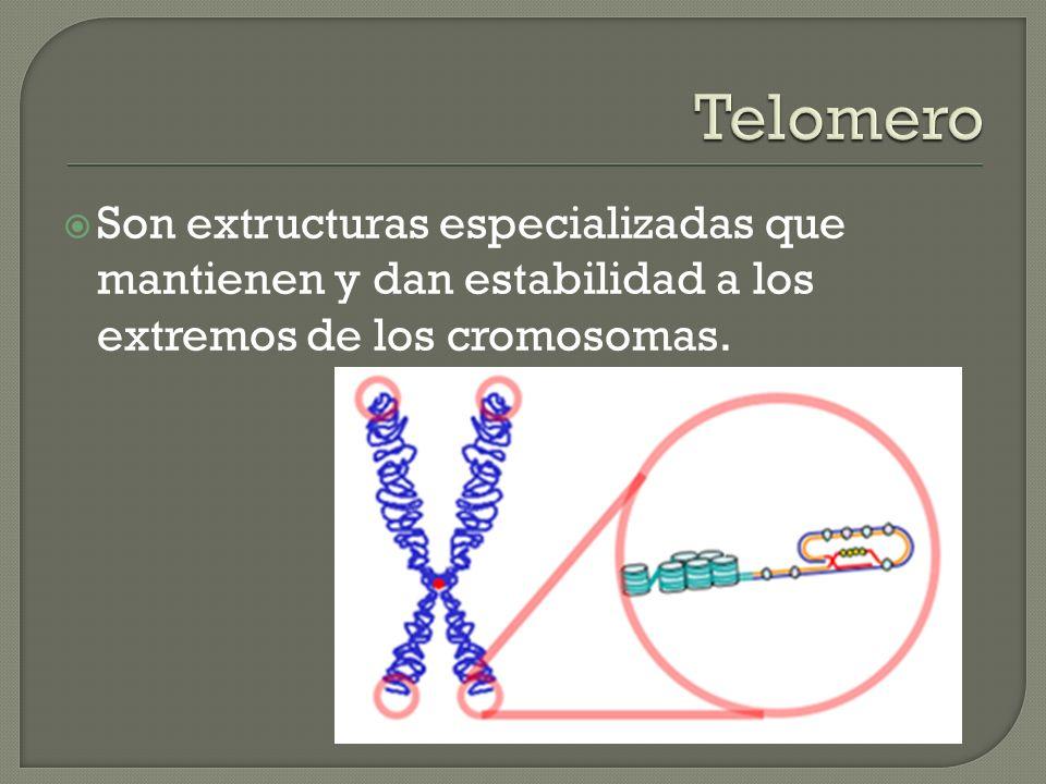 Telomero Son extructuras especializadas que mantienen y dan estabilidad a los extremos de los cromosomas.
