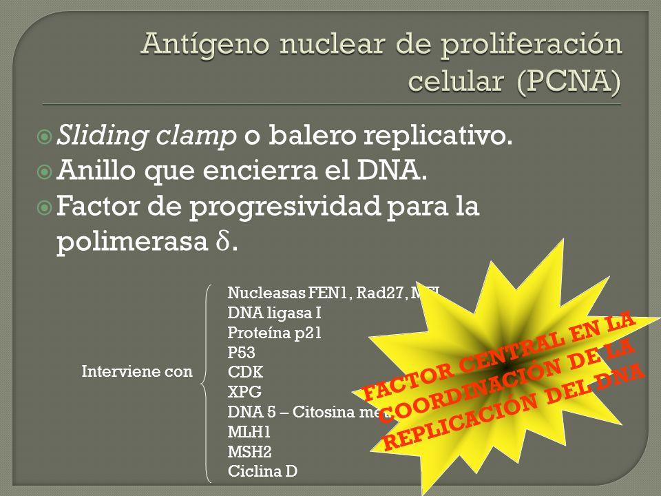 Antígeno nuclear de proliferación celular (PCNA)