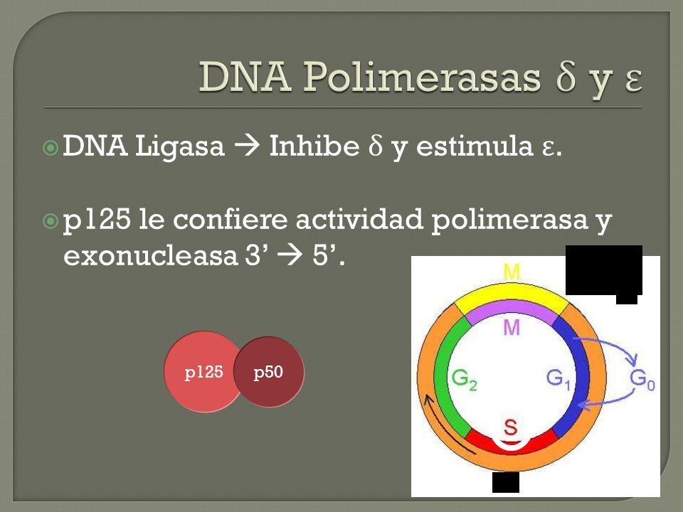 DNA Polimerasas δ y ε DNA Ligasa  Inhibe δ y estimula ε.