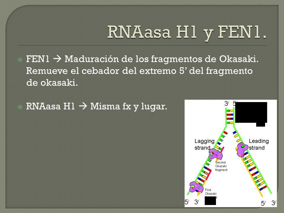 RNAasa H1 y FEN1. FEN1  Maduración de los fragmentos de Okasaki. Remueve el cebador del extremo 5' del fragmento de okasaki.