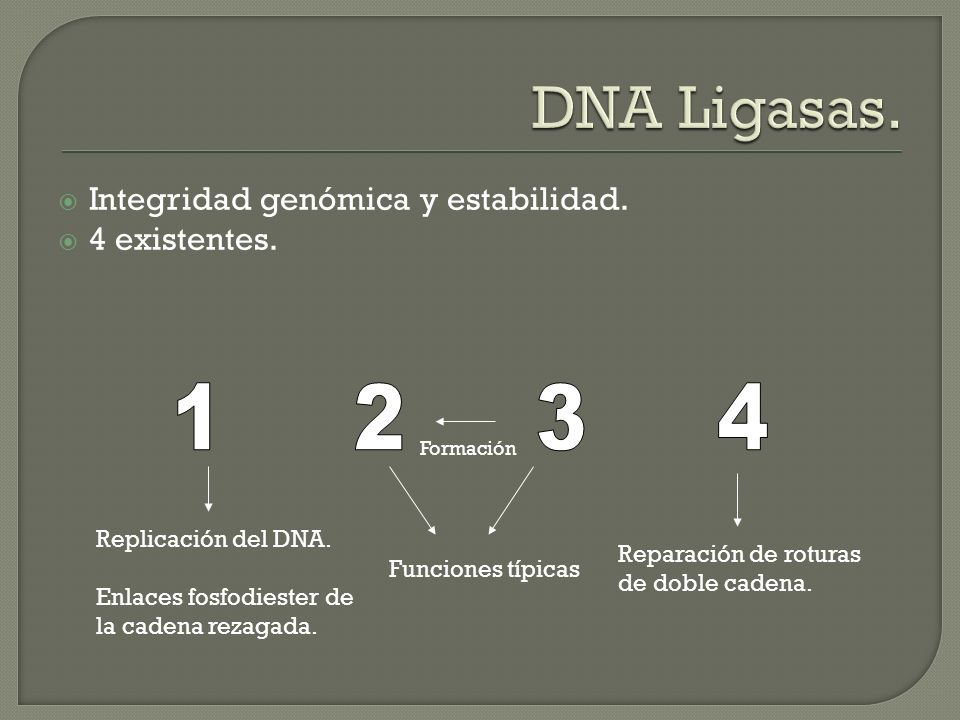 DNA Ligasas. 1 2 3 4 Integridad genómica y estabilidad. 4 existentes.