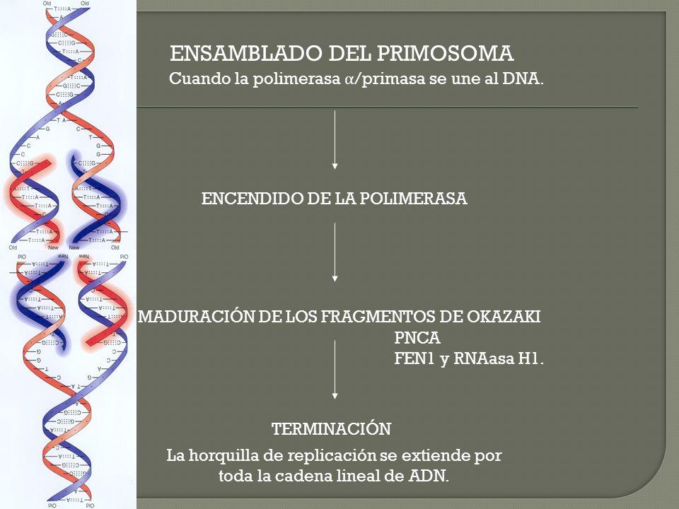 ENSAMBLADO DEL PRIMOSOMA