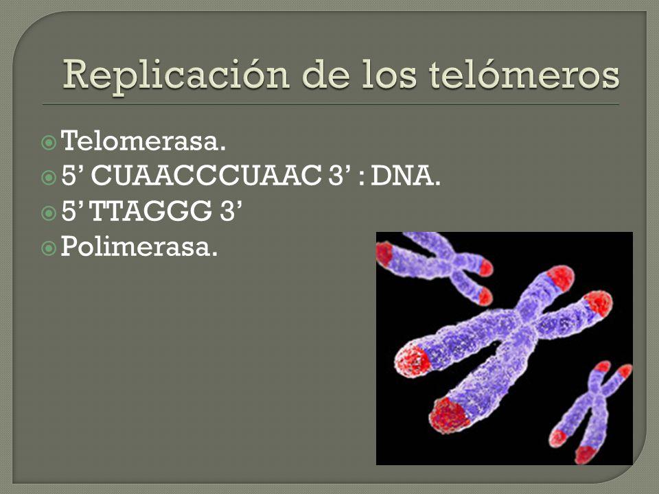 Replicación de los telómeros