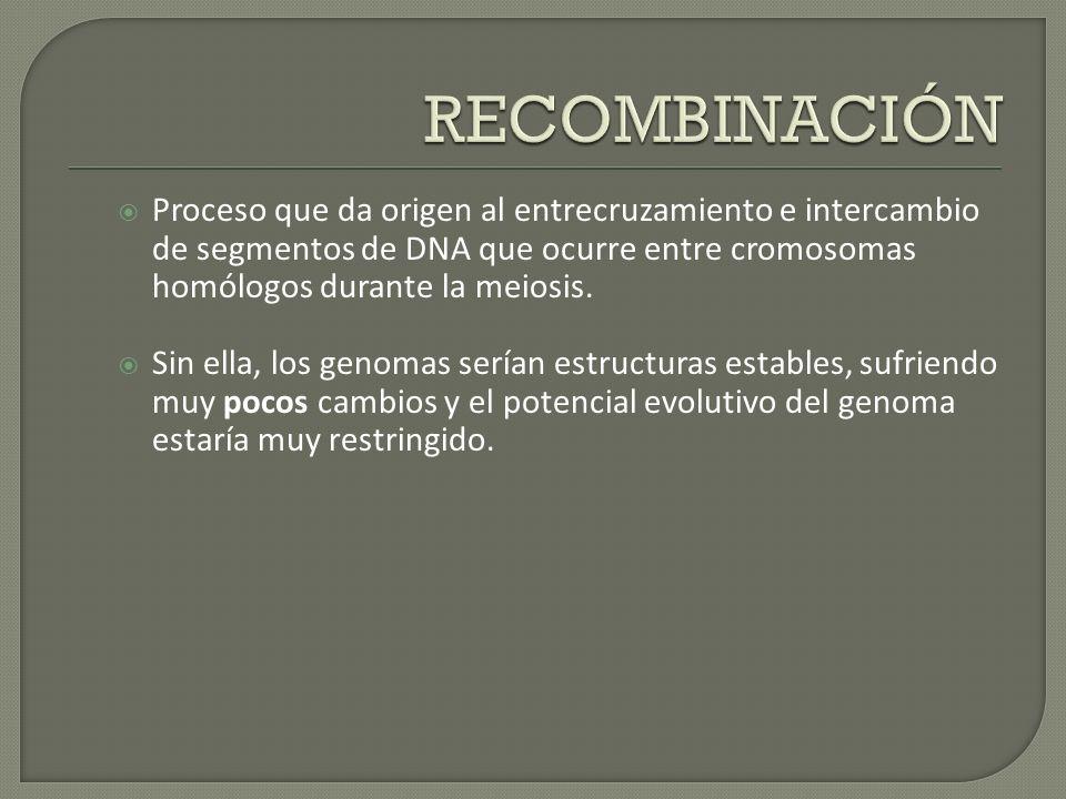 RECOMBINACIÓN Proceso que da origen al entrecruzamiento e intercambio de segmentos de DNA que ocurre entre cromosomas homólogos durante la meiosis.