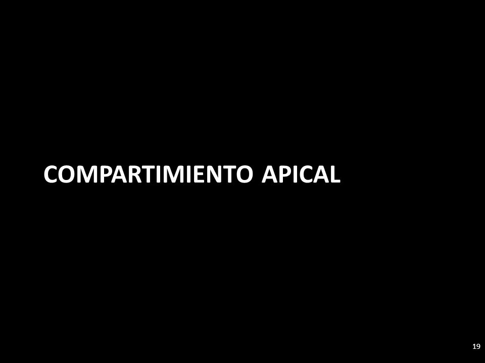 Compartimiento apical