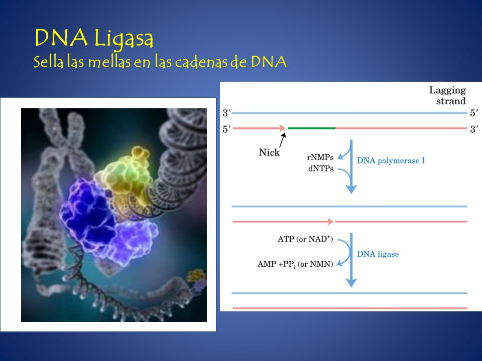 DNA Ligasa Sella las mellas en las cadenas de DNA
