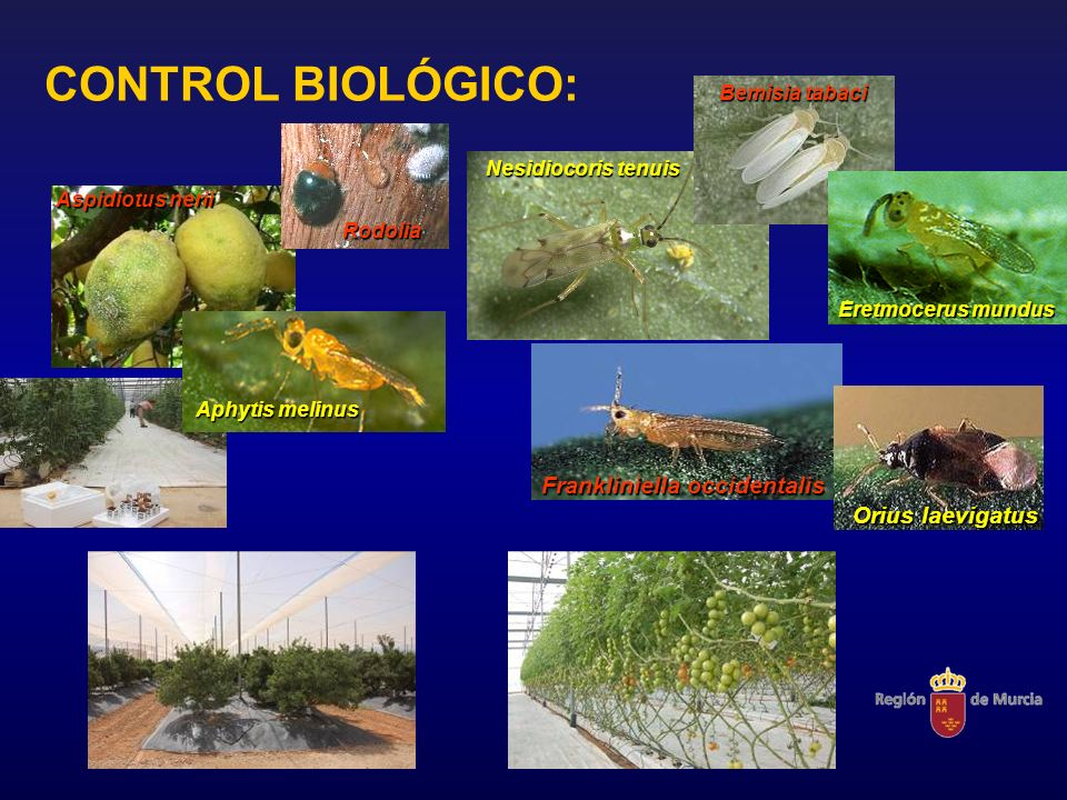 CONTROL BIOLÓGICO: Frankliniella occidentalis Orius laevigatus