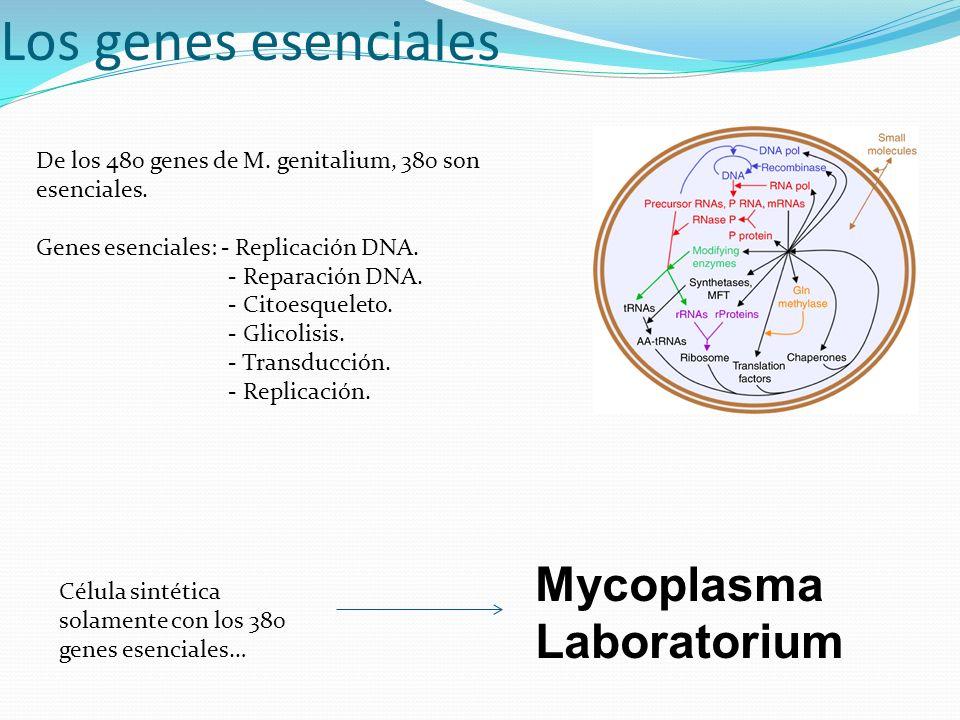 Los genes esenciales Mycoplasma Laboratorium