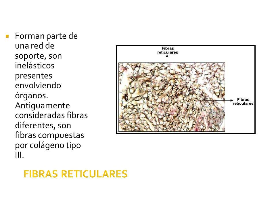 Forman parte de una red de soporte, son inelásticos presentes envolviendo órganos. Antiguamente consideradas fibras diferentes, son fibras compuestas por colágeno tipo III.
