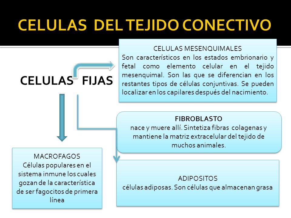 CELULAS DEL TEJIDO CONECTIVO