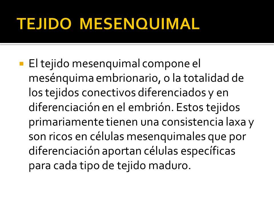 TEJIDO MESENQUIMAL