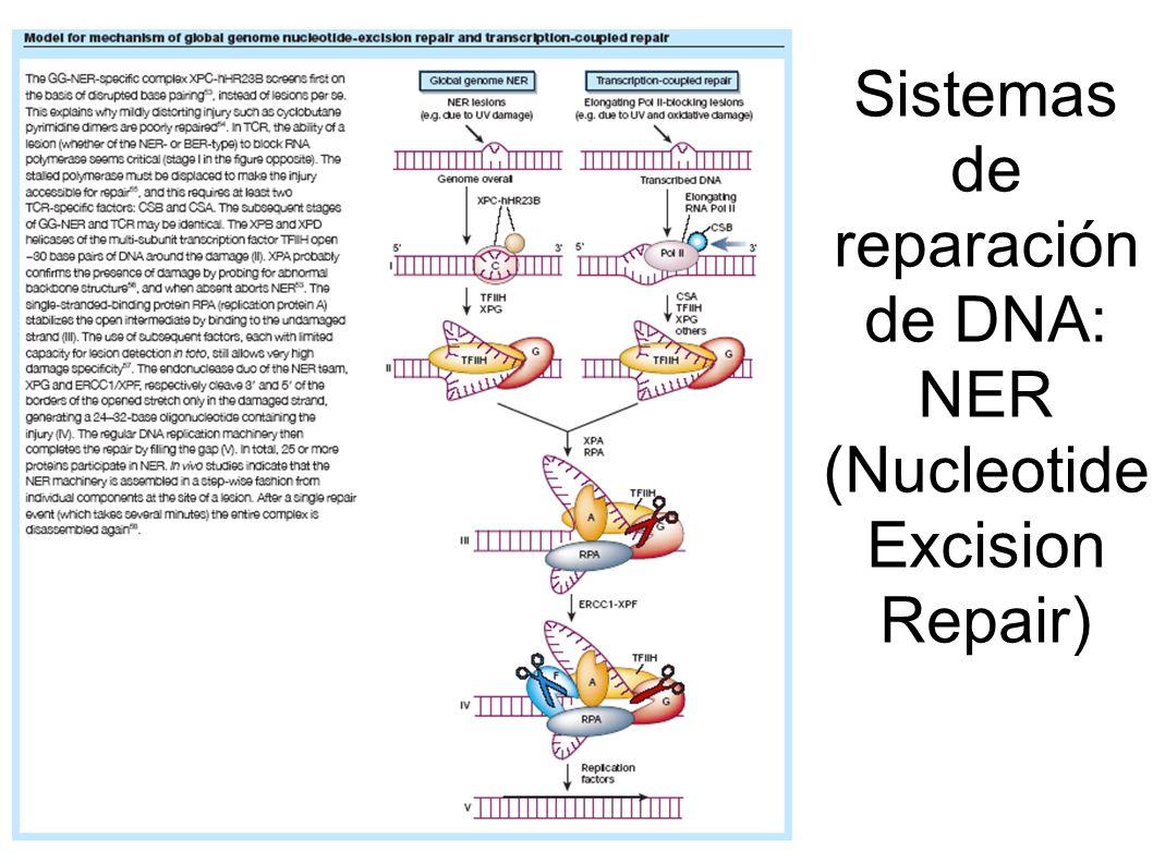 Sistemas de reparación de DNA: NER (Nucleotide Excision Repair)