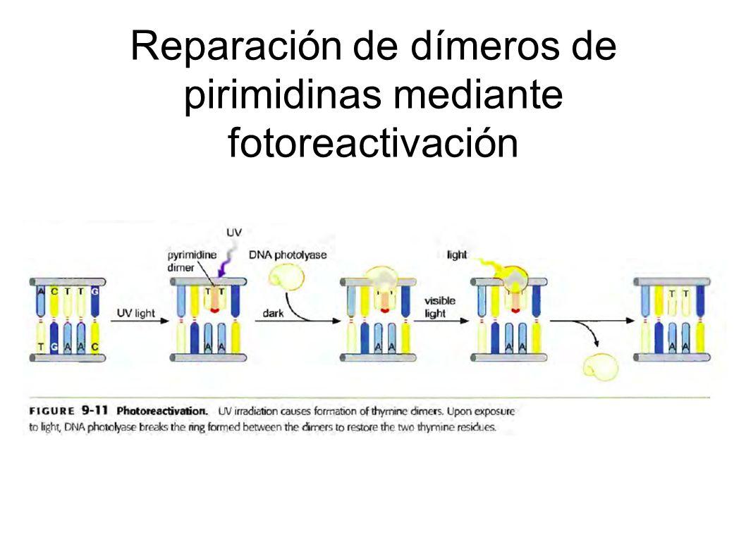 Reparación de dímeros de pirimidinas mediante fotoreactivación