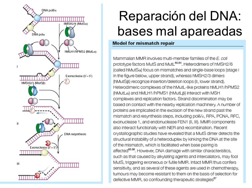 Reparación del DNA: bases mal apareadas