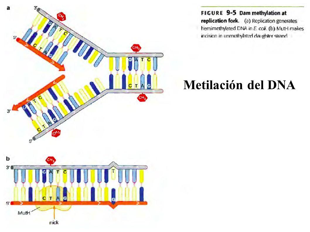 Metilación del DNA Metilación del DNA