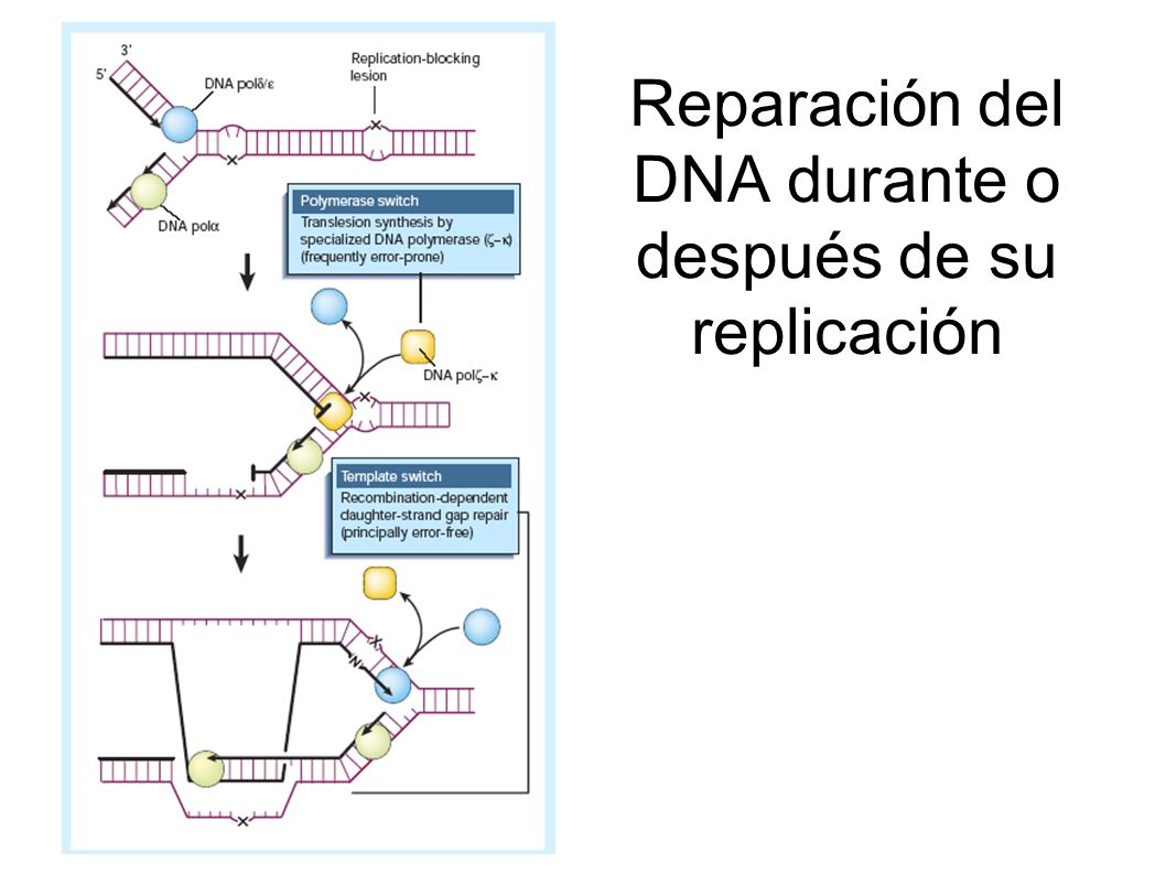 Reparación del DNA durante o después de su replicación