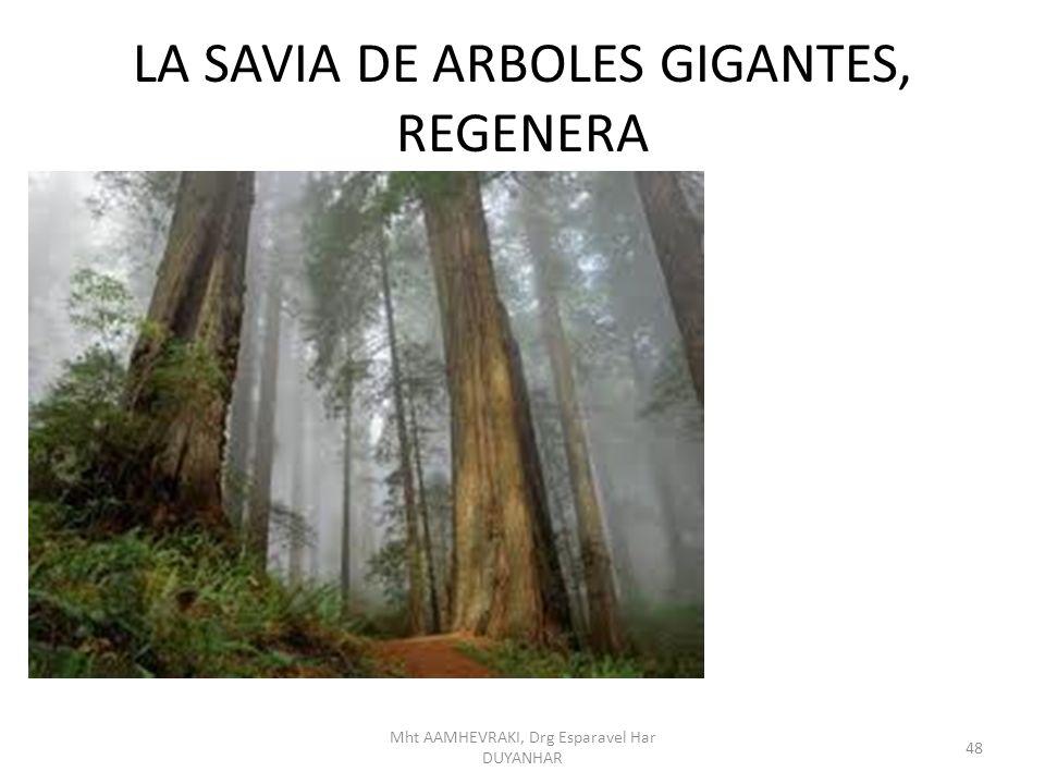 LA SAVIA DE ARBOLES GIGANTES, REGENERA