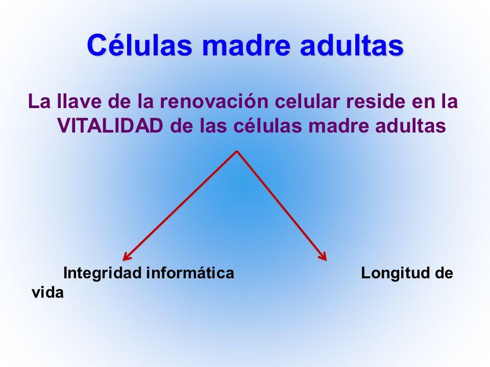 Células madre adultas La llave de la renovación celular reside en la VITALIDAD de las células madre adultas.