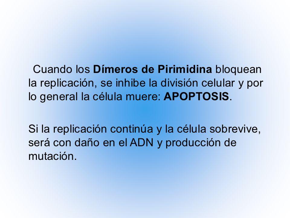 Cuando los Dímeros de Pirimidina bloquean la replicación, se inhibe la división celular y por lo general la célula muere: APOPTOSIS.