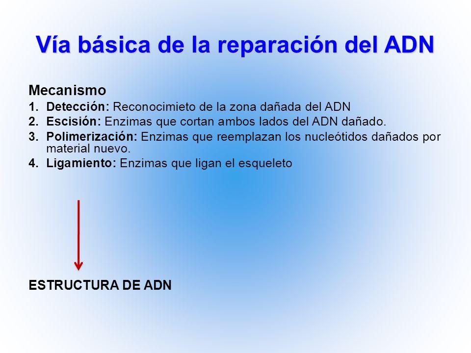 Vía básica de la reparación del ADN