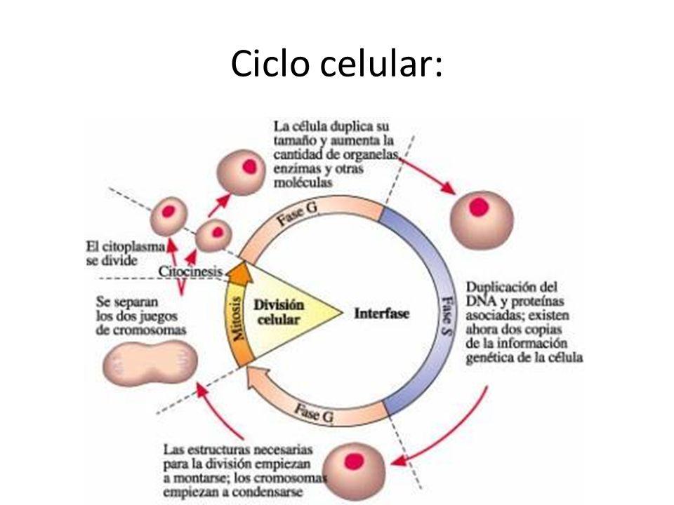 Ciclo celular:
