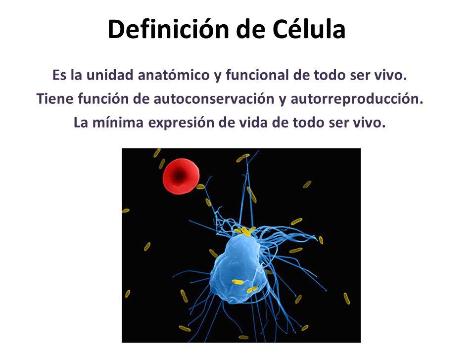 Definición de Célula Es la unidad anatómico y funcional de todo ser vivo. Tiene función de autoconservación y autorreproducción.