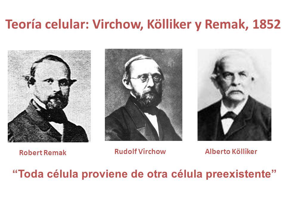 Teoría celular: Virchow, Kölliker y Remak, 1852