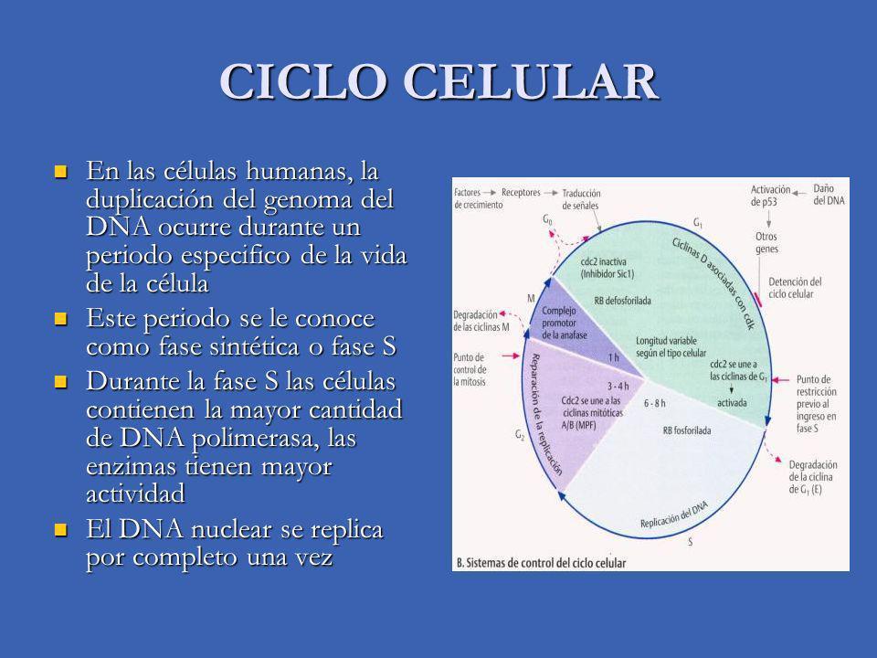 CICLO CELULAR En las células humanas, la duplicación del genoma del DNA ocurre durante un periodo especifico de la vida de la célula.