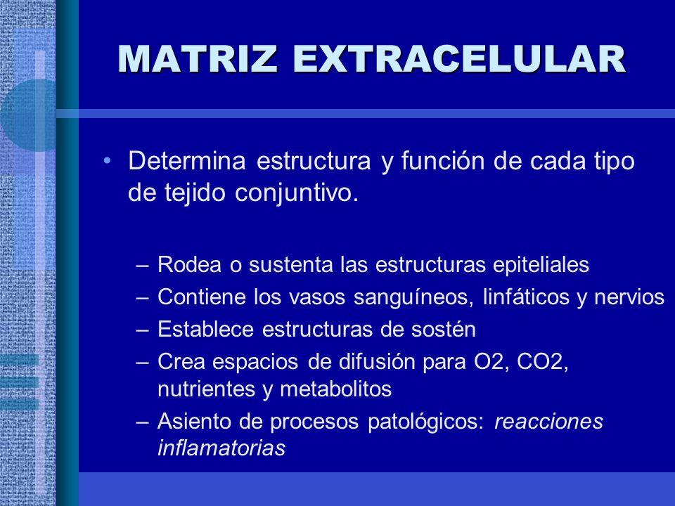MATRIZ EXTRACELULAR Determina estructura y función de cada tipo de tejido conjuntivo. Rodea o sustenta las estructuras epiteliales.