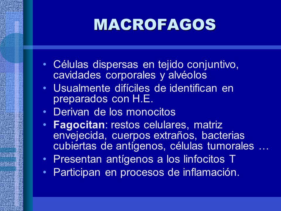 MACROFAGOS Células dispersas en tejido conjuntivo, cavidades corporales y alvéolos. Usualmente difíciles de identifican en preparados con H.E.