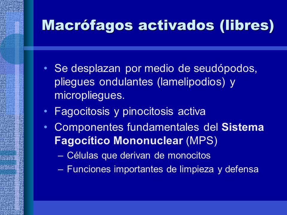 Macrófagos activados (libres)