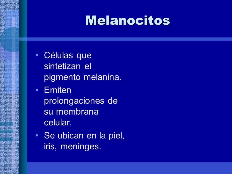 Melanocitos Células que sintetizan el pigmento melanina.