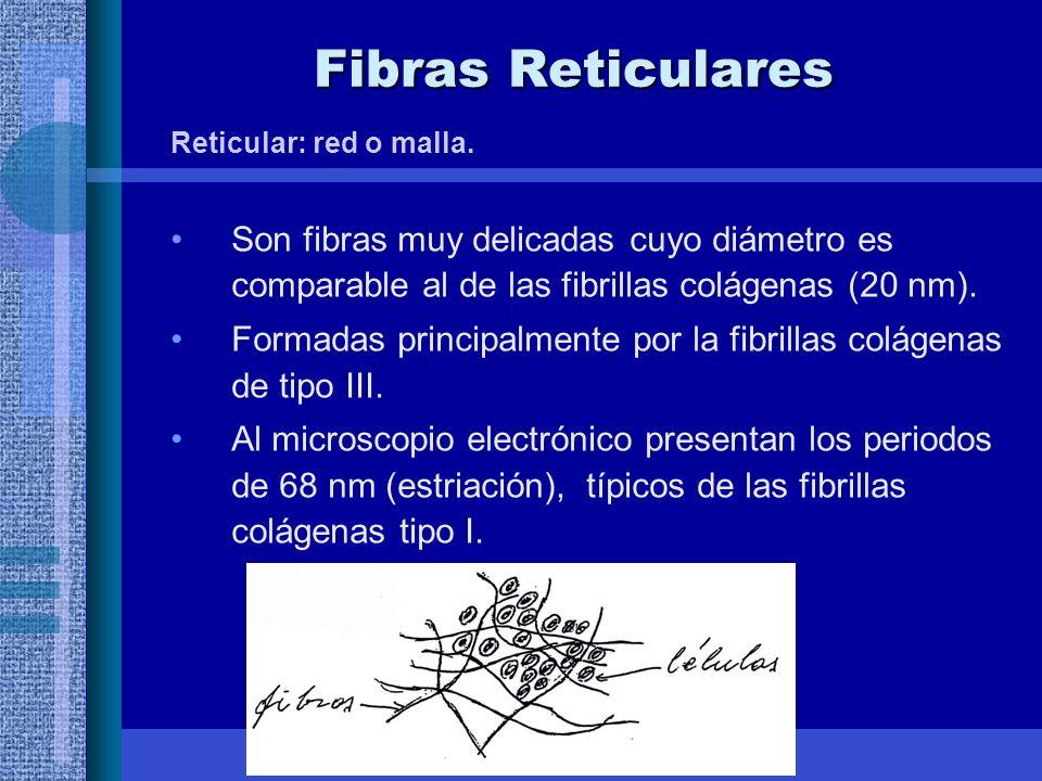 Fibras Reticulares Reticular: red o malla. Son fibras muy delicadas cuyo diámetro es comparable al de las fibrillas colágenas (20 nm).