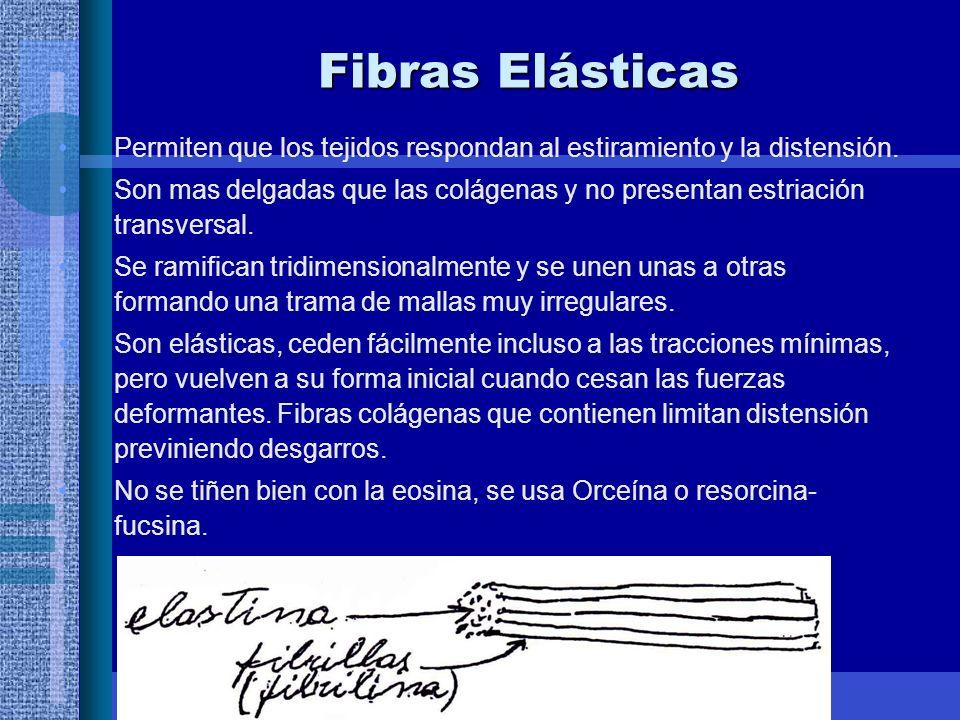 Fibras Elásticas Permiten que los tejidos respondan al estiramiento y la distensión.