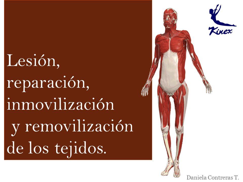 Lesión, reparación, inmovilización y removilización de los tejidos.