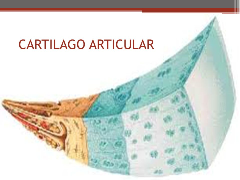 CARTILAGO ARTICULAR