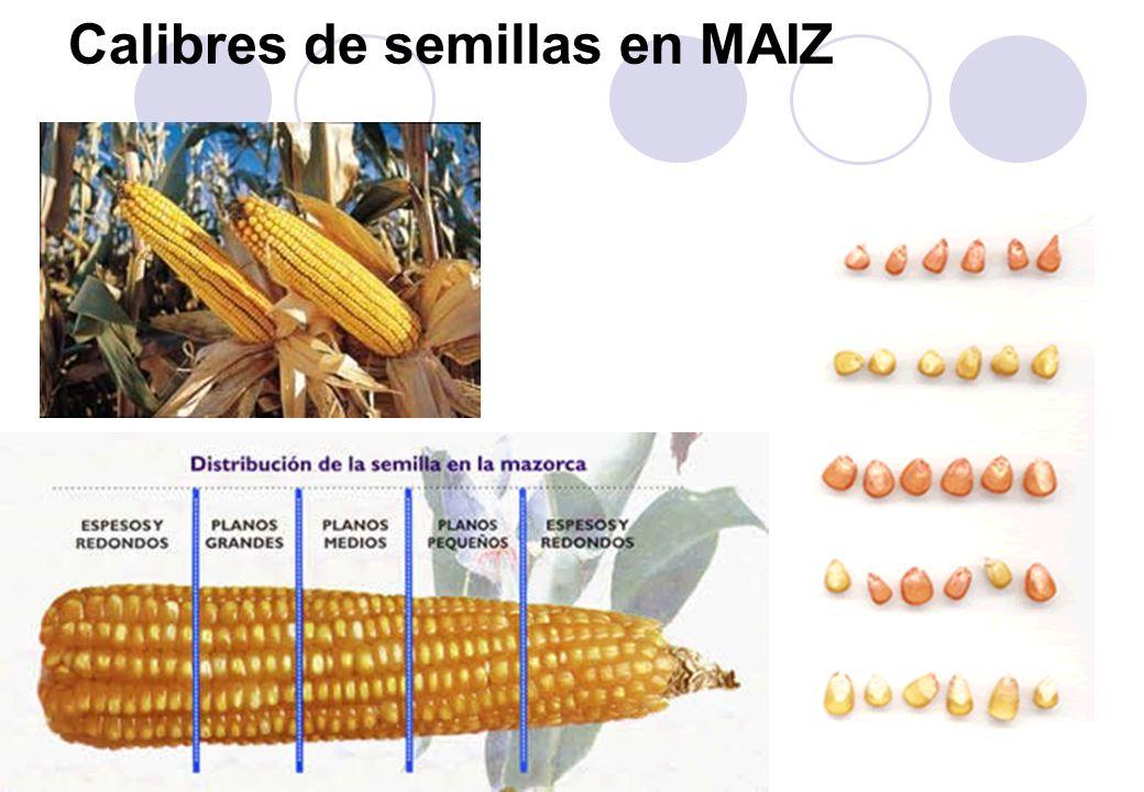 Calibres de semillas en MAIZ