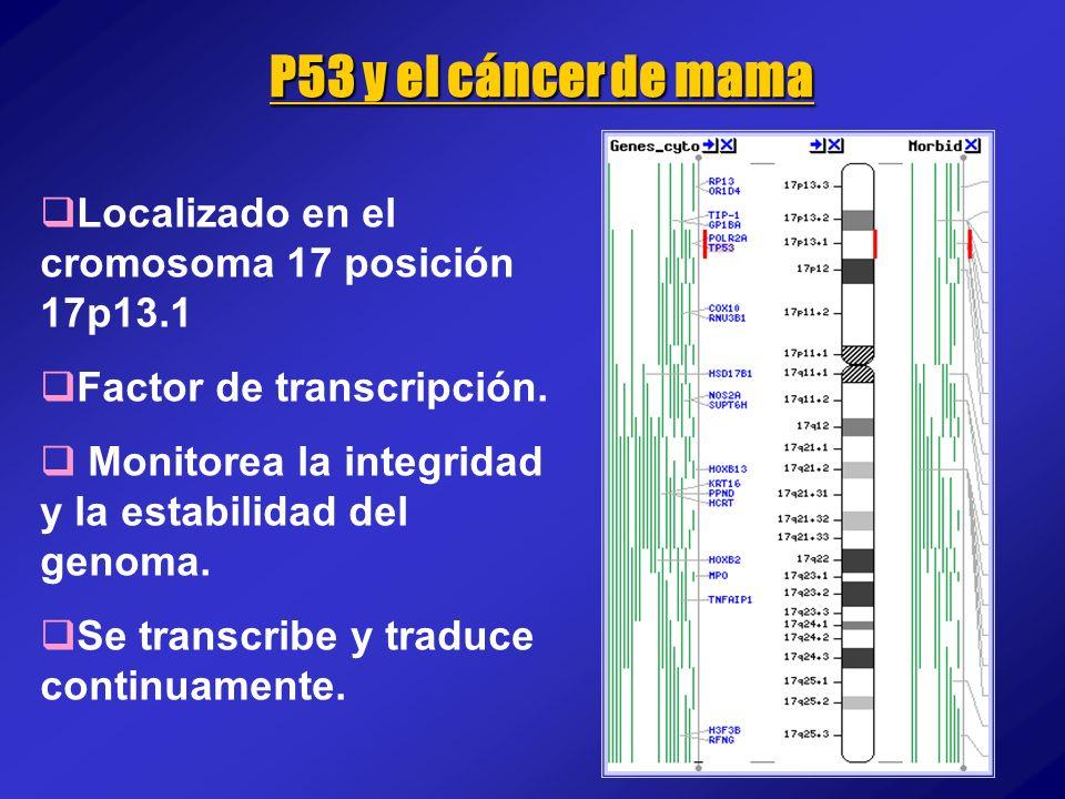 P53 y el cáncer de mama Localizado en el cromosoma 17 posición 17p13.1