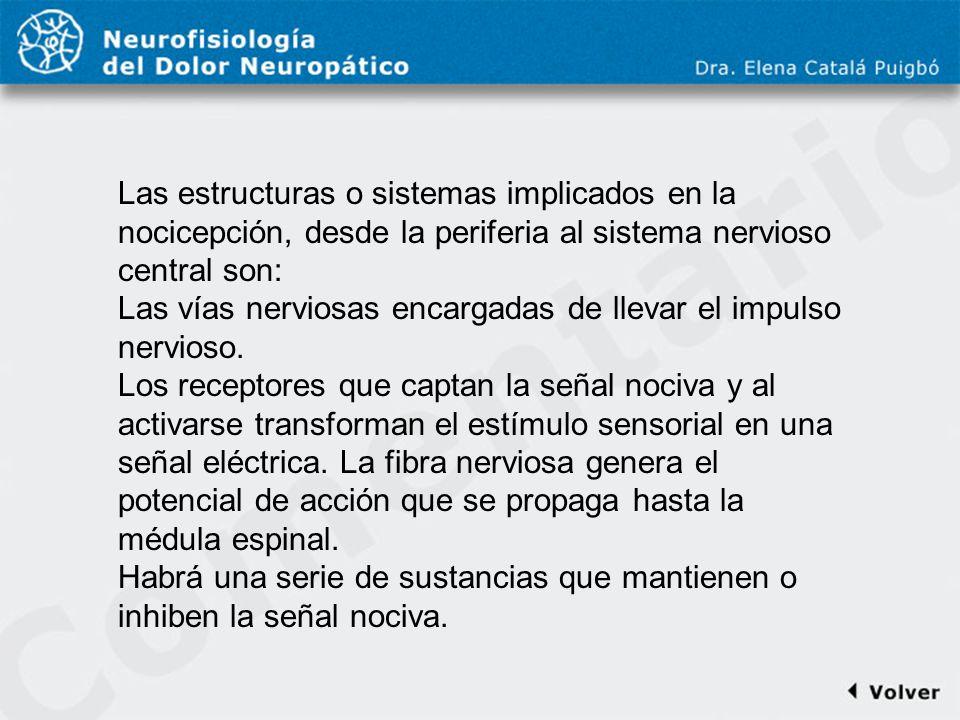 Comentario a diapo6 Las estructuras o sistemas implicados en la nocicepción, desde la periferia al sistema nervioso central son: