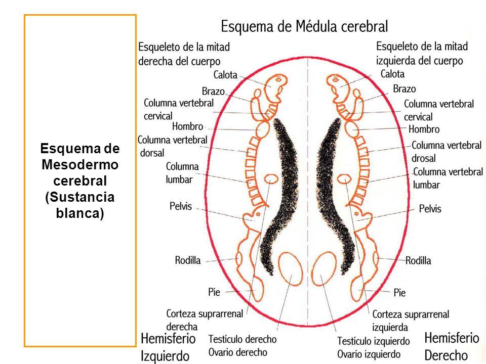 Esquema de Mesodermo cerebral (Sustancia blanca)