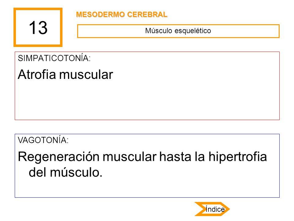 13 MESODERMO CEREBRAL. Músculo esquelético. SIMPATICOTONÍA: Atrofia muscular. VAGOTONÍA: Regeneración muscular hasta la hipertrofia del músculo.