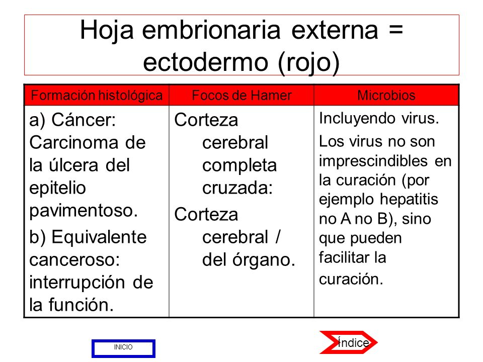 Hoja embrionaria externa = ectodermo (rojo)