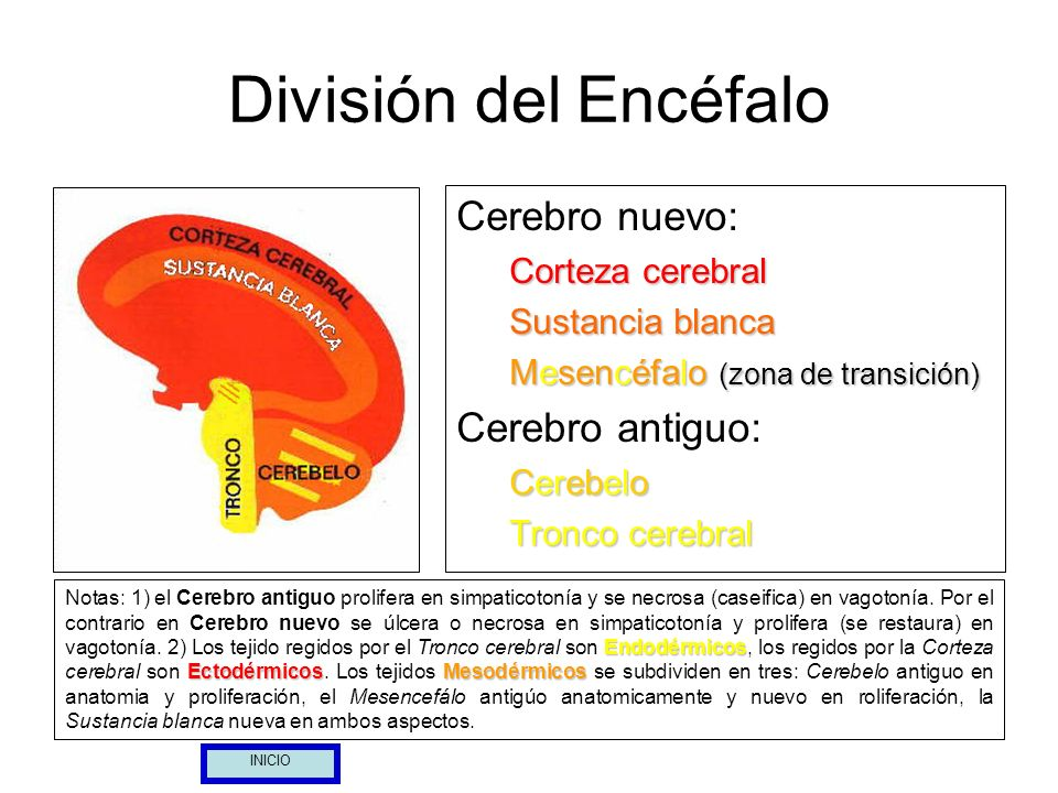 División del Encéfalo Cerebro nuevo: Cerebro antiguo: Corteza cerebral
