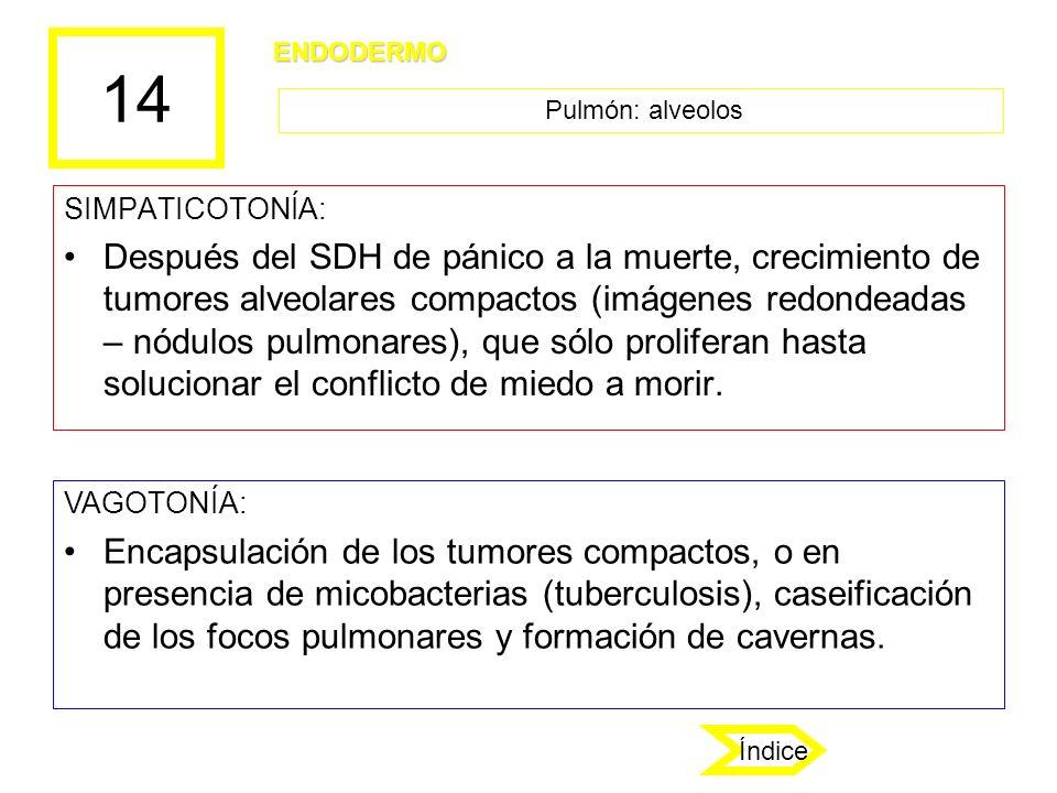 14 ENDODERMO. Pulmón: alveolos. SIMPATICOTONÍA:
