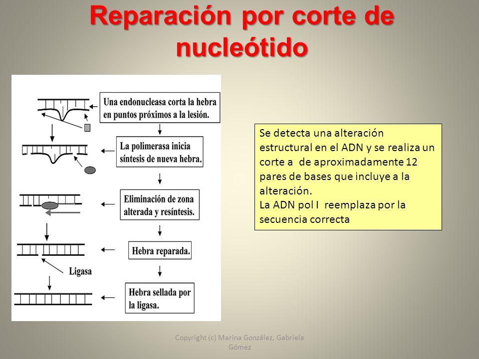 Reparación por corte de nucleótido